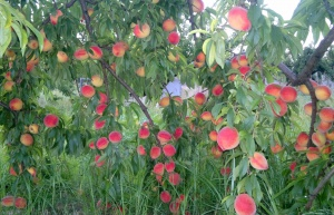 Earth's bounty - peaches in December